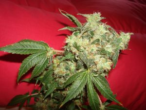 The White Widow strain is one of the most recognized names.