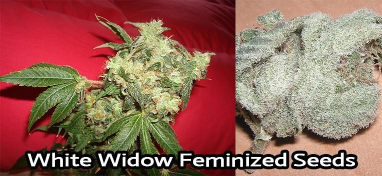 White Widow Strain Feminized Seeds