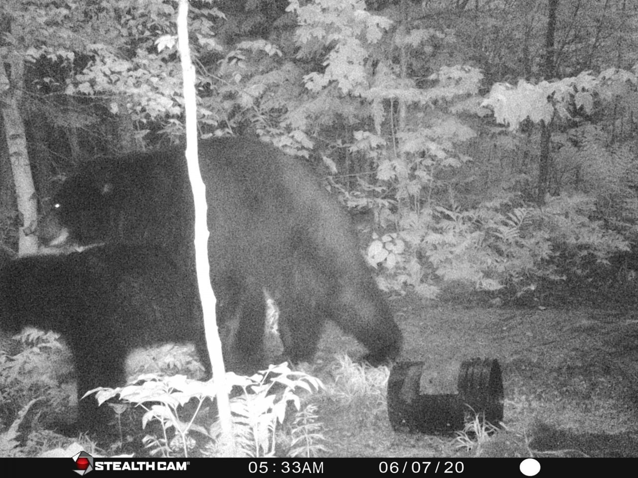 Black Bears Mating on Stealth Cam Trail Camera