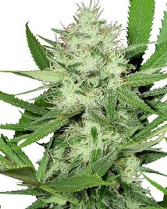 Acapulco Gold leaves you feeling cheerful and euphoric, and it delivers these caffeine-like effects without those pesky jitters.
