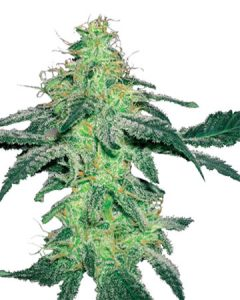 Amnesia offers users an intense, uplifting high.