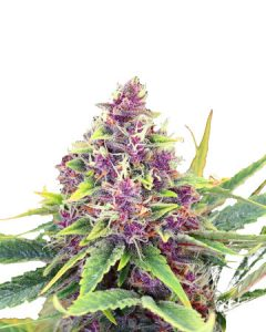 Blueberry Kush gives stress and anxiety relieve.