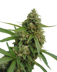 Bubba Kush banishes anxiety, and boosts appetite.
