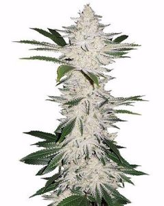 For a bit of euphoria, try Chemdog #4.