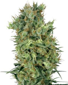 Diesel feminized seeds trace their lineage to Sour Diesel and Afghani indica