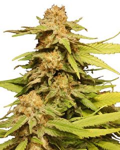 Grape Ape has a delicious fragrance and potent effects.