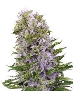Purple Haze has a blueberry flavored euphoric high.