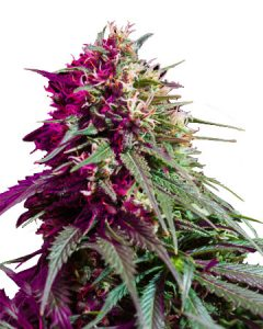Purple Kush has a sweet earthy scent and fruity flavor.