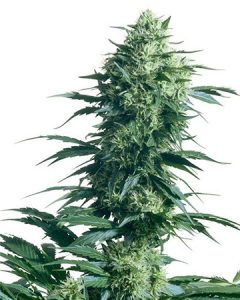 Trainwreck is potent, easy to grow and pungent.