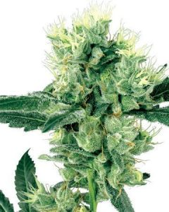 Skunk Kush  provides relief from chronic pain, and insomnia.